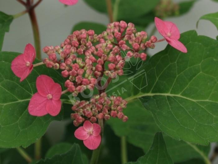 hydrangea serrata Nou Murasaki en fleurs