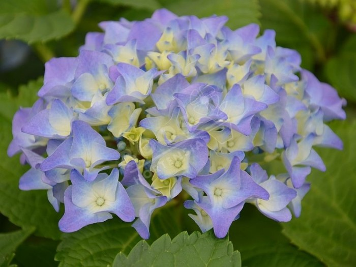 HORTENSIA Early Blue®