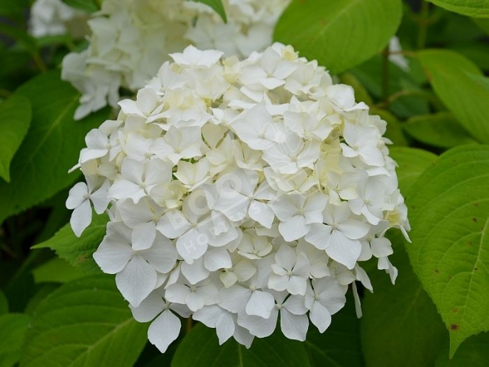 HORTENSIA Snow Storm ® 'White King'