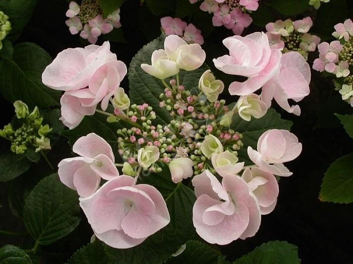 Hortensia Hobella en fleurs