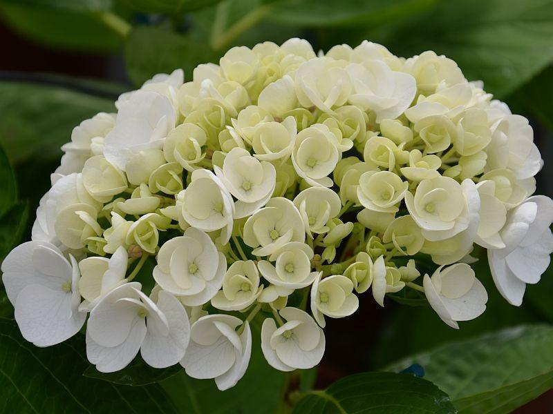 hortensia - les meilleurs en blanc - hortensia - hydrangea