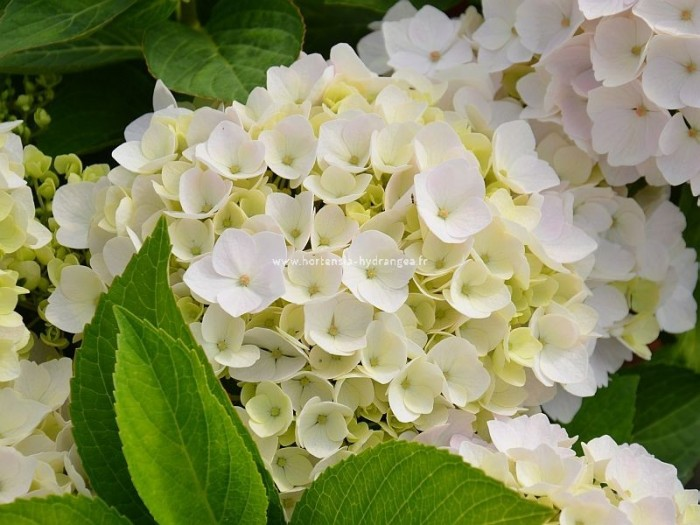 hortensia hovaria hopaline hydrangea macrophylla. Black Bedroom Furniture Sets. Home Design Ideas