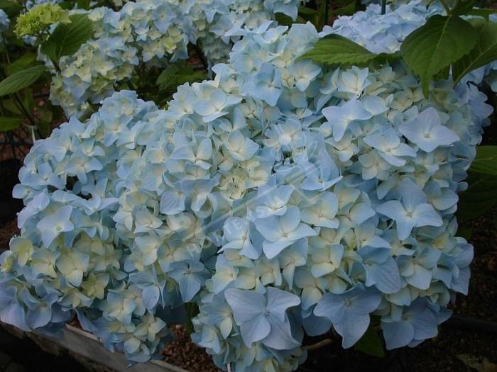 HORTENSIA 'Nikko Blue'