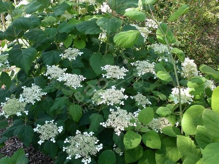 HYDRANGEA arborescens 'radiata'