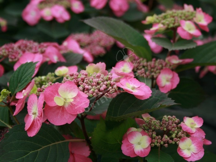 HYDRANGEA serrata Cotton Candy ®