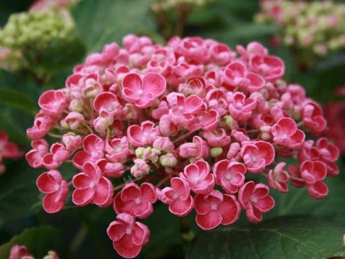 fleur d'hortensia Hopcorn rose