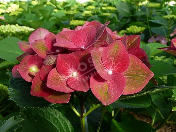 HORTENSIA Green Shadow®