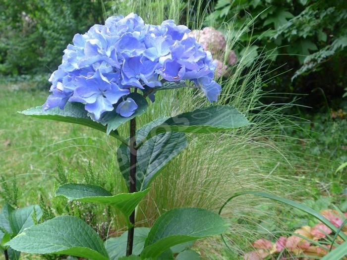 HORTENSIA 'Black Trombone' bleu