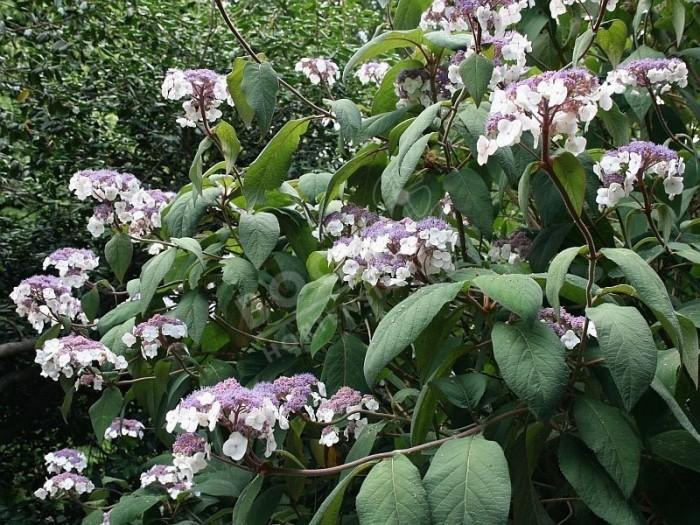 hydrangea aspera rocklon massif en fleur