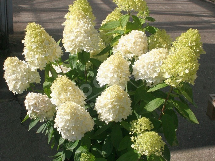 HYDRANGEA paniculata Magical ® sweet summer