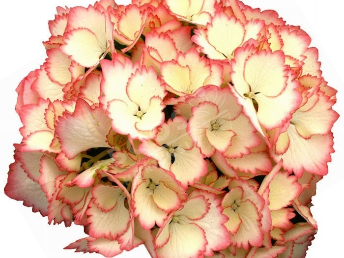HORTENSIA Cocktail ®