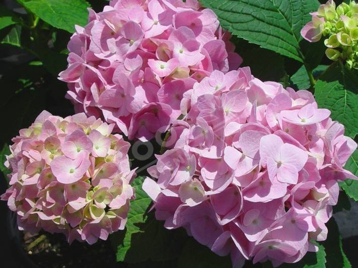 HORTENSIA 'Semperflorens' en rose