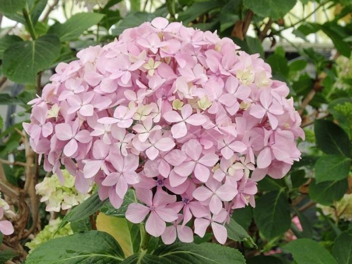 fleurs d'hortensia otaksa , magnifiques et volumineuse