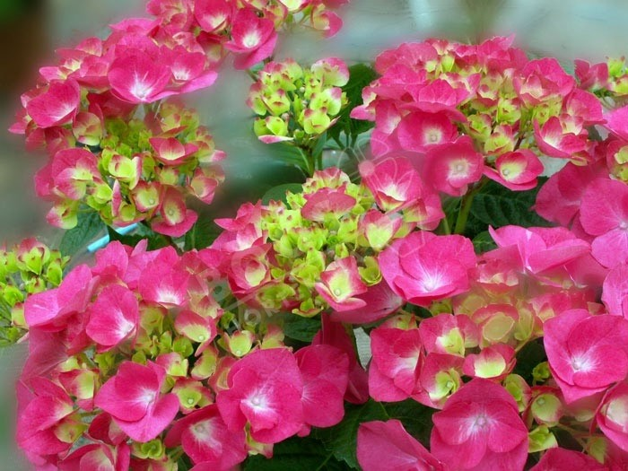 HORTENSIA Amour Toujours ®