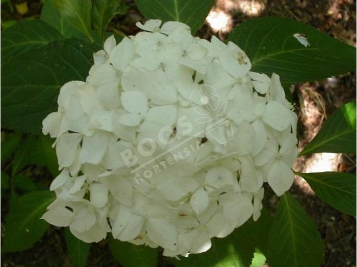 HYDRANGEA serrata 'Warabe'