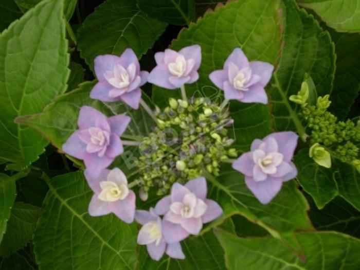 HORTENSIA 'Etoile Violette'