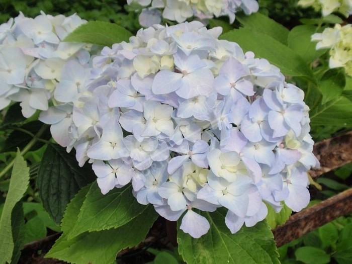 HORTENSIA France Bleu ® bleu
