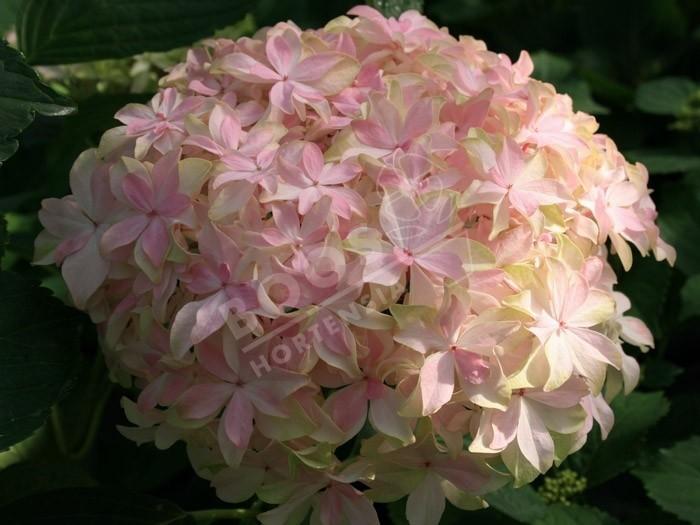 Hortensia inspire fleurs originales