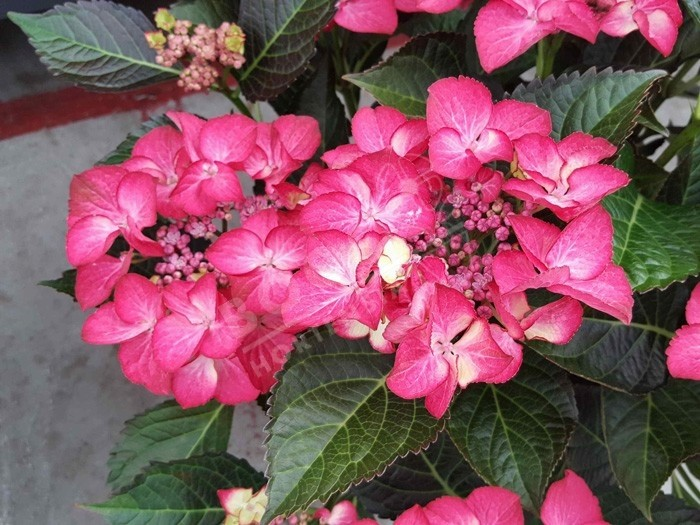 HORTENSIA Dark Angel ® rouge