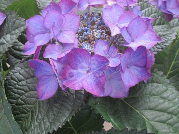 HORTENSIA Dark Angel ® violet