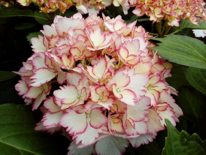 HORTENSIA Cocktail ® fleur avec liseret rouge dentelé