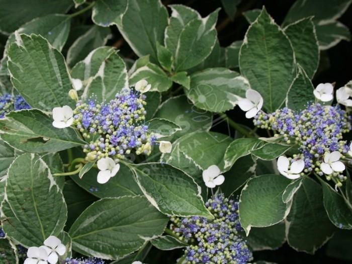 HORTENSIA variegata