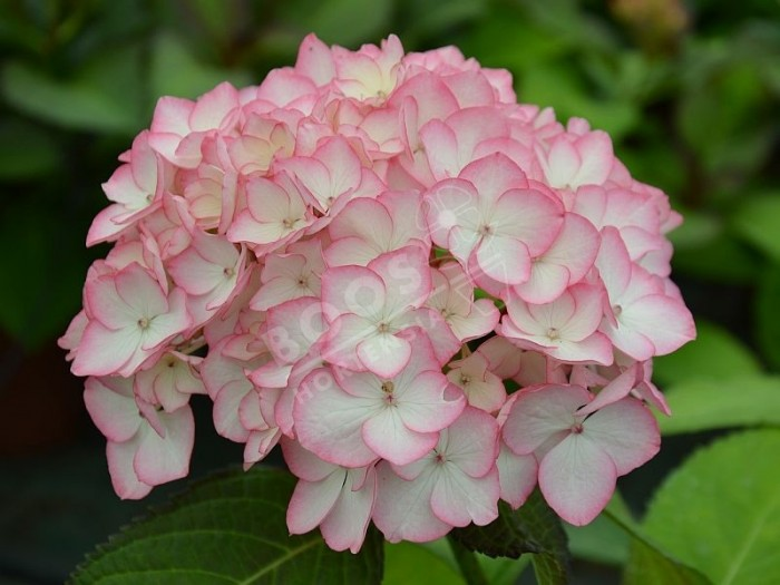 HORTENSIA Dutch Ladies ® 'Sabrina'