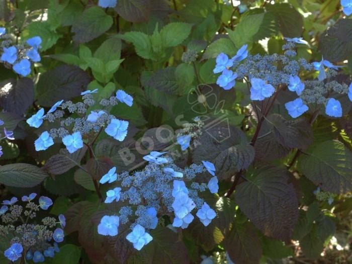 Hydrangea serrata Yezoensis dans le jardin à Shamrock