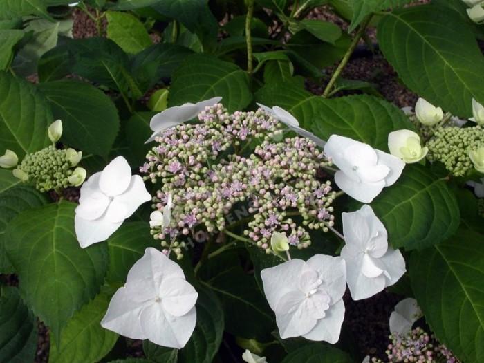 HORTENSIA 'Veitchii' en fleurs