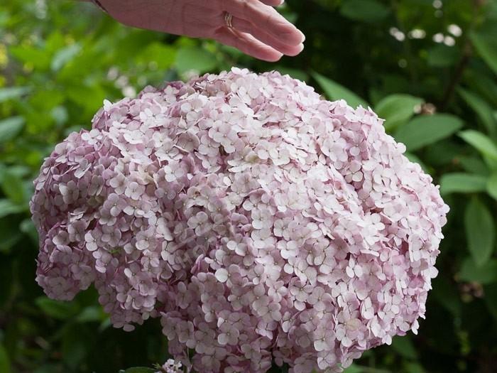 HYDRANGEA arborescens Sweet Annabelle ® 'Ncha4'