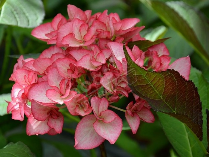 HORTENSIA Dutch Ladies ® 'Salsa'