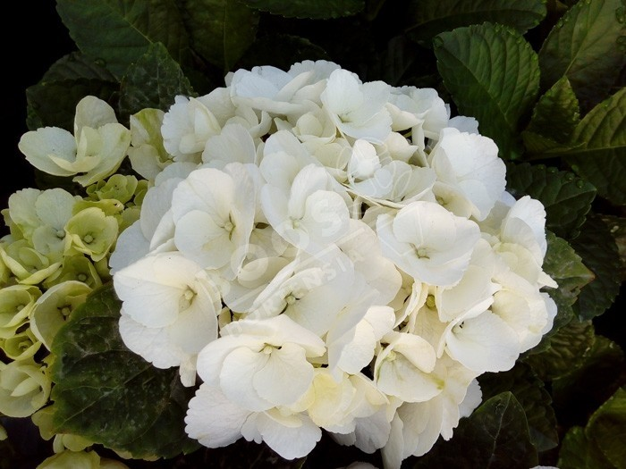 HORTENSIA Bright White ®