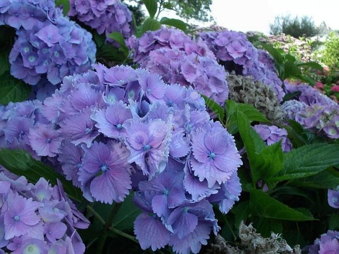 Hortensia Europa grosses boules de fleurs bleues