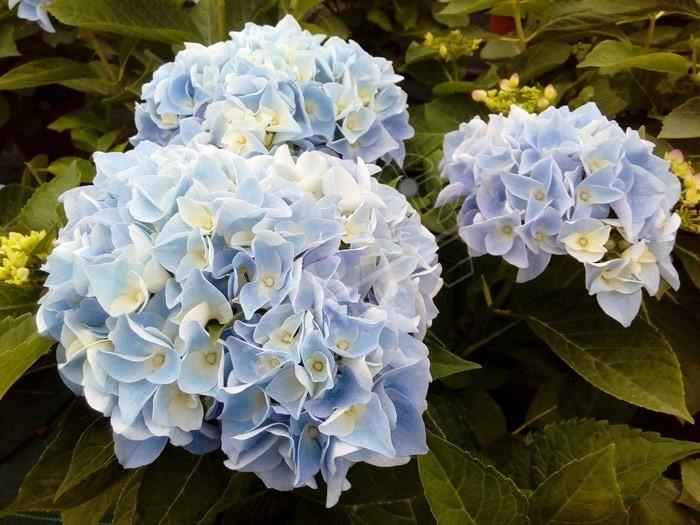 HORTENSIA 'Ankong® ' en fleurs