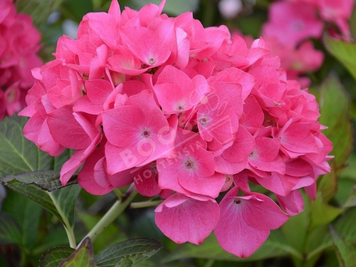 HORTENSIA Dutch Ladies ® 'Saskia'