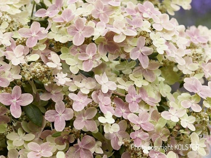 HYDRANGEA paniculata Polestar 'Breg14'