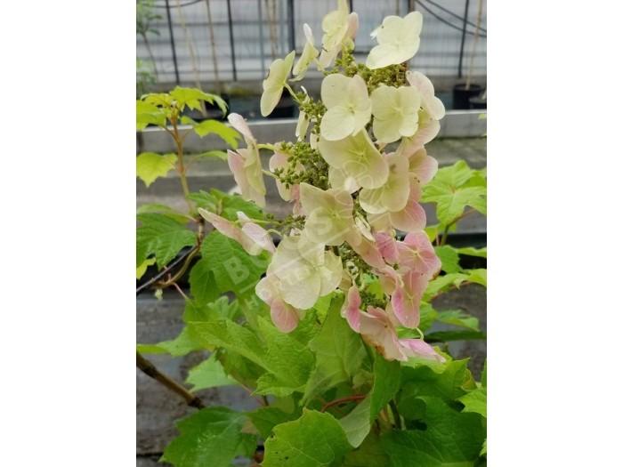 HYDRANGEA quercifolia Munchkin