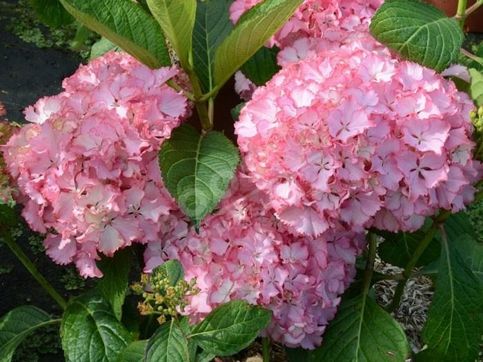 HORTENSIA So Long ® Sunny en fleurs