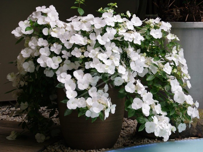 Hortensia Runaway Bride ® fleurs blanches en ribambelle