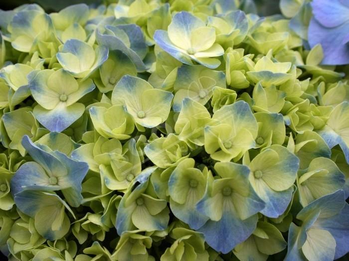 hortensia bodensee en fleurs