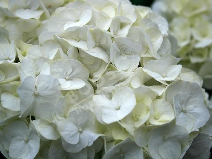 hortensia shakira en fleurs