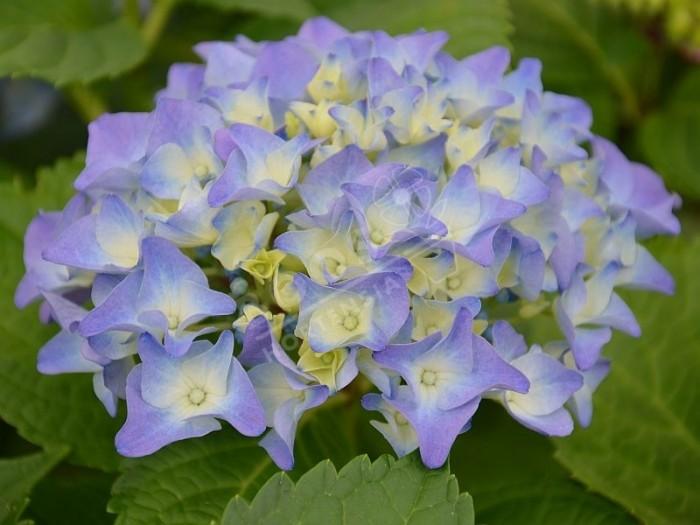 HORTENSIA Early Blue®