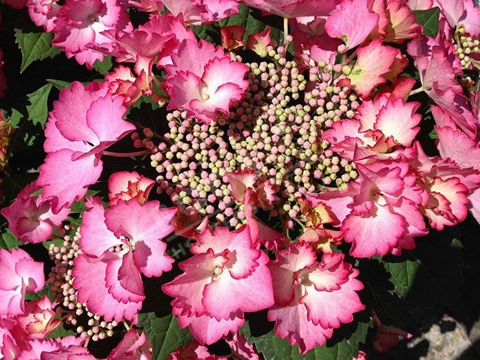 HORTENSIA French Cancan ® rose