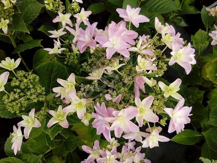 HORTENSIA Hovaria® 'Elleair Anniversary' fleur étoilée