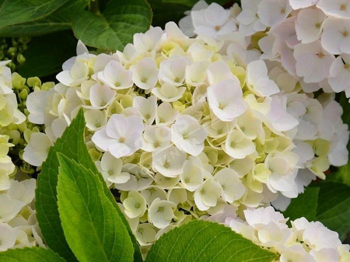 massif d'hortensia hopaline en fleurs