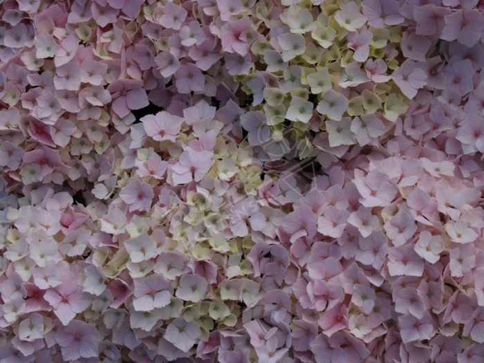fleurs d'hydrangea macrophylla Hopaline