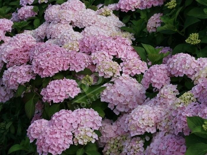fleurs d'hortensia hopaline
