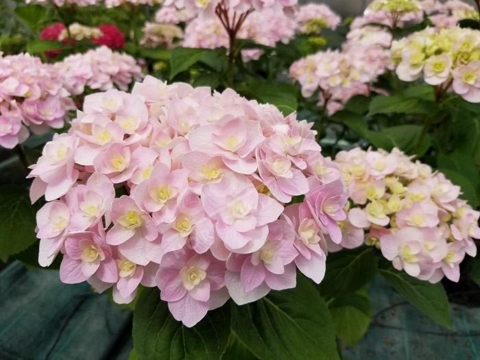 Hortensia 'Kazan' fleurs fin de floraison rose tendre