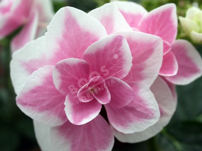 Hortensia star gazer superbe floraison