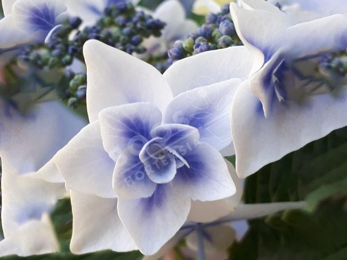 HORTENSIA Star Gazer® en bleu en fleurs